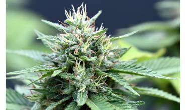CZYM RÓŻNI SIĘ THC OD CBD?